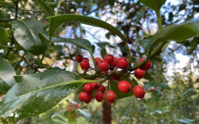 The Christmas Holly Tree